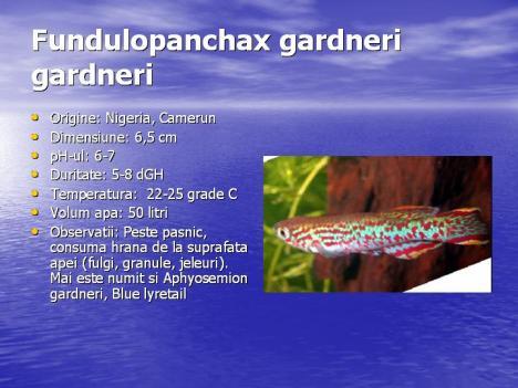 fundulopanchax-gardneri-gardneri