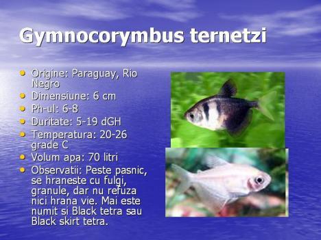 gymnocorymbus-ternetzi